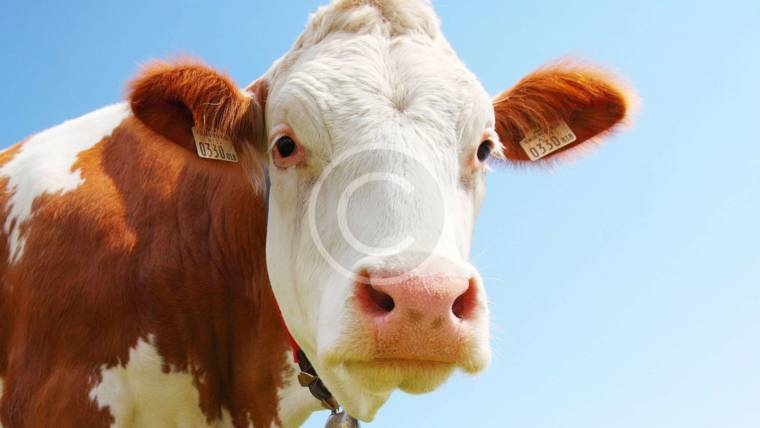Top Tips for Cattle Health
